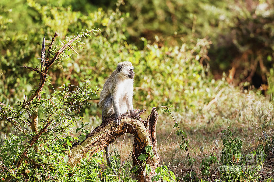 Chlorocebus pygerythrus, vervet monkey in Serengeti National Par by Marek Poplawski