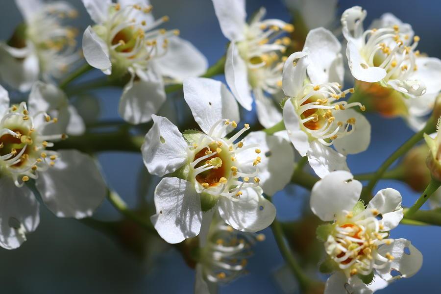 Choke Cherry Tree Blossoms by TJ Fox