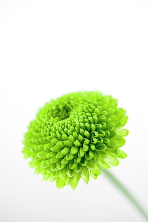 Chrysanthemum Flower Photograph by Nicholas Rigg