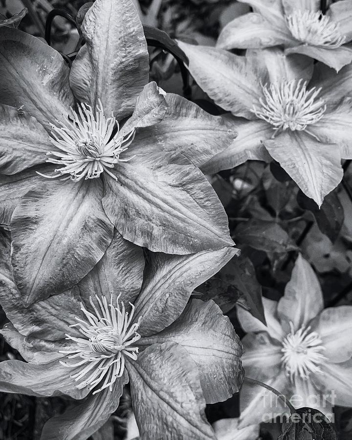 clematis  by HD Connelly