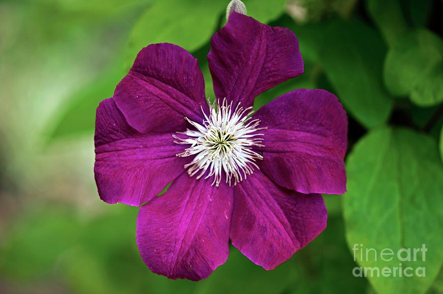 Clematis Photograph - Clematis Sp by Dr Keith Wheeler/science Photo Library