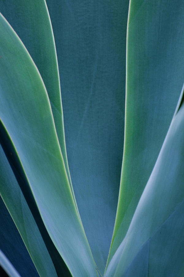 Agave Photograph - Close-up Blue Green Agave Leaves by Darrell Gulin