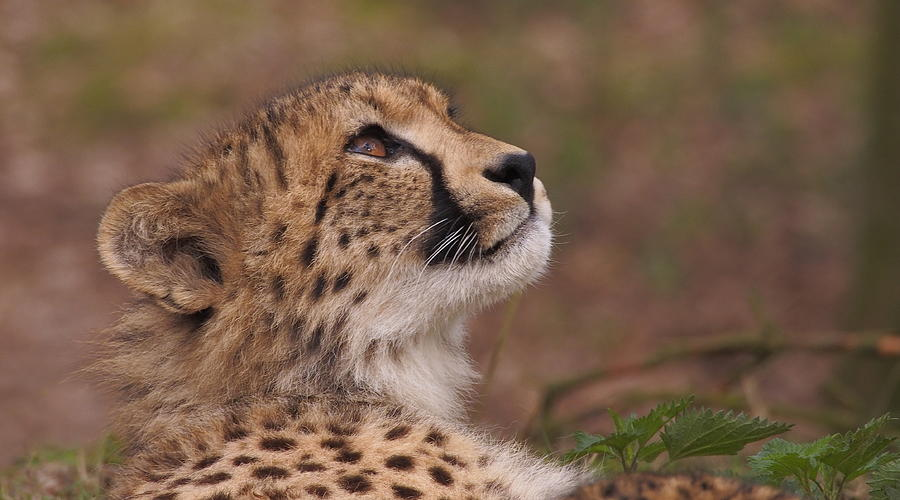 Close up of a cheetah by Eye to Eye Xperience