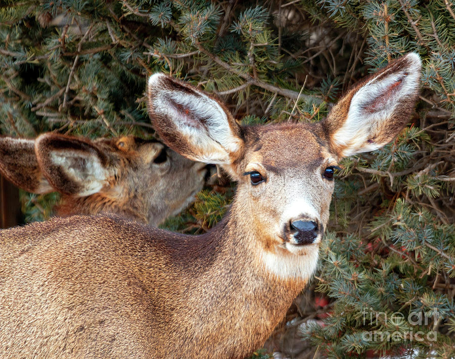 Colorado High Country Deer Photograph