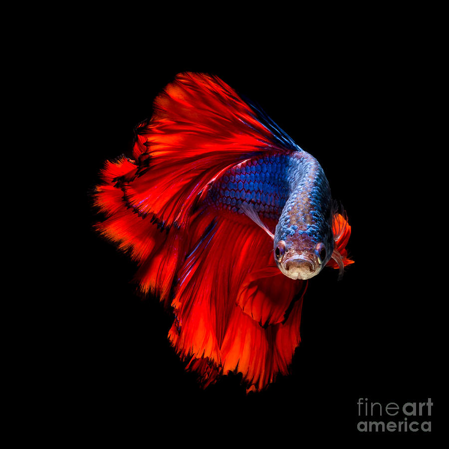 Dress Photograph - Colourful Betta Fish,siamese Fighting by Nuamfolio