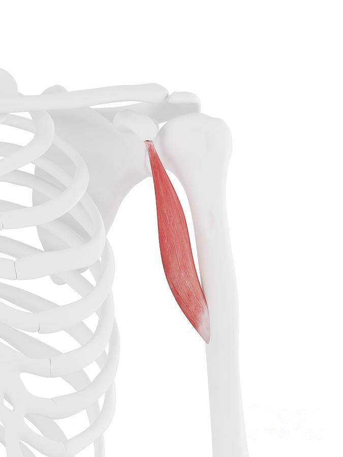3d Photograph - Coracobrachialis Muscle by Sebastian Kaulitzki/science Photo Library