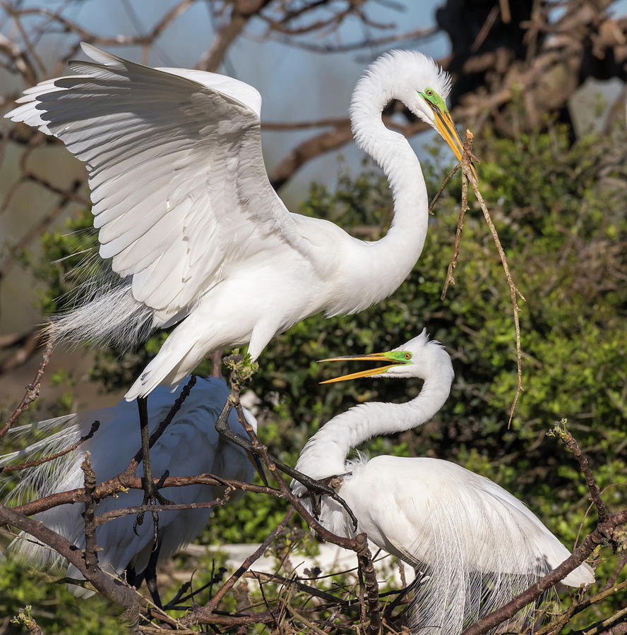 Couple Of Great Egrets by Ivan Kuzmin