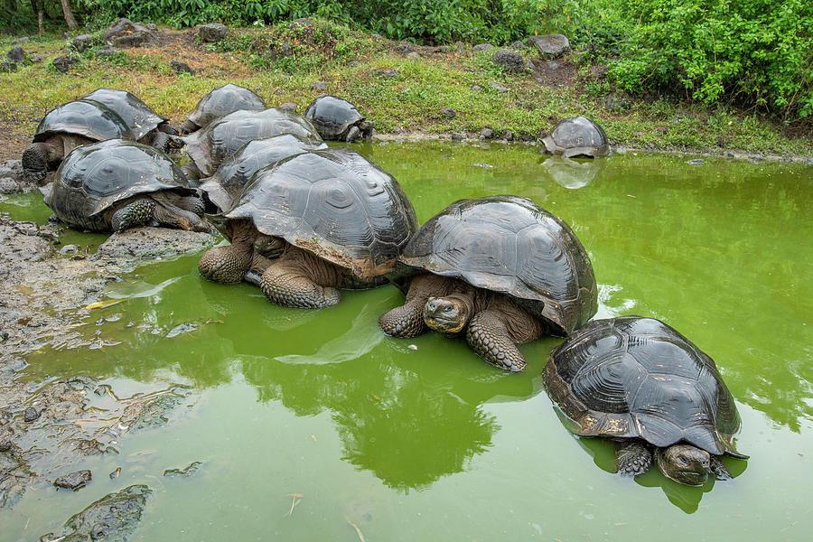 Creep Of Indefatigable Island Tortoises Photograph by Tui De Roy