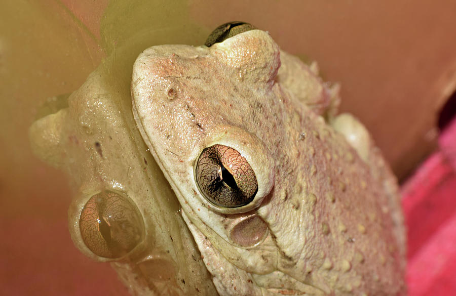 Cuban Tree Frog by Larah McElroy