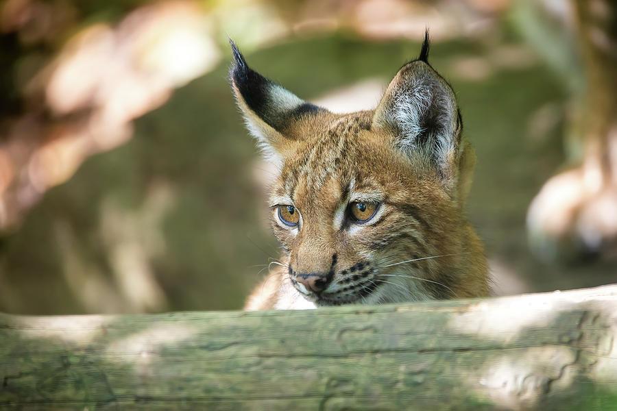 Cute Small Kitten Of Lynx Photograph By Artush Foto