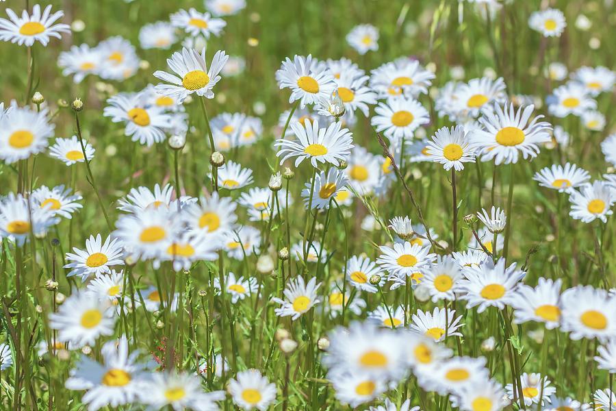 daisies by Jonathan Nguyen