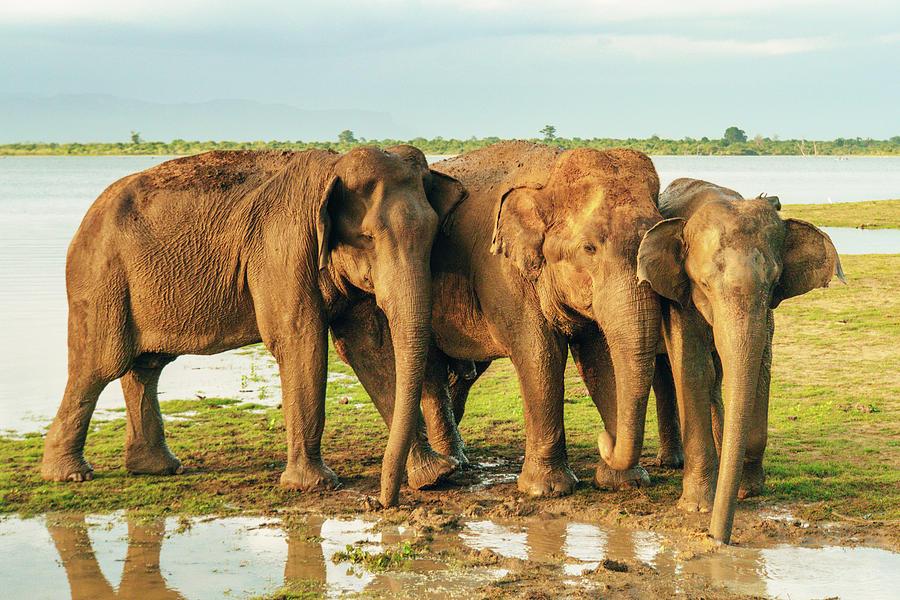 Elephant Photograph - Elephants - Three Best Friends 2 by Max Blumenthal