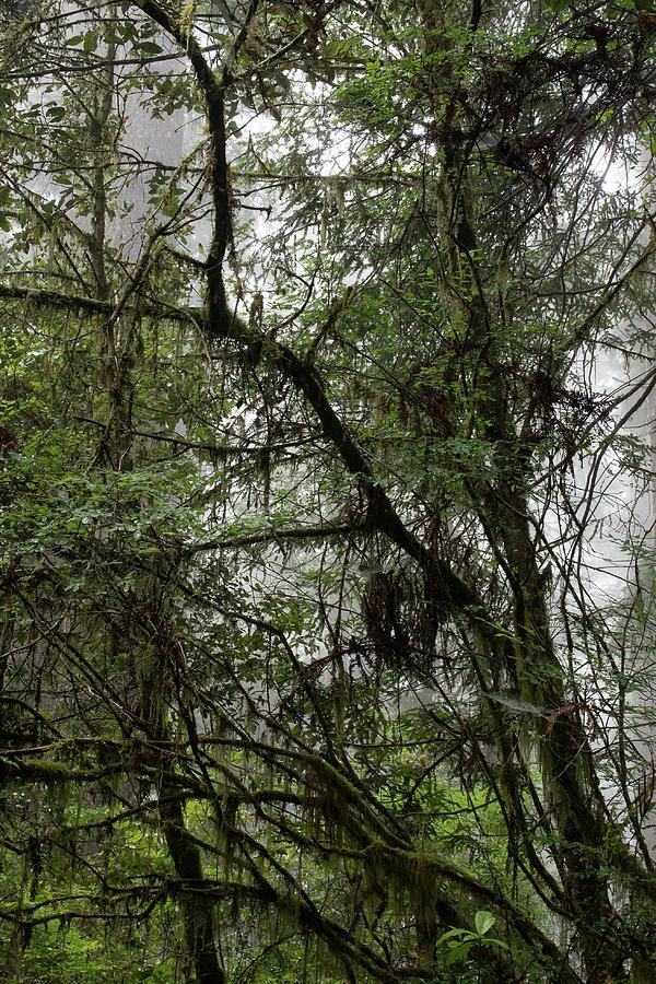 2 Fern Grove Fog, N. California by Phyllis Spoor