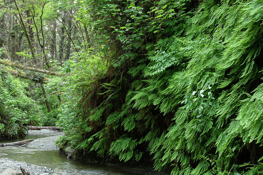 2 Fern Grove, Redwoods N. California by Phyllis Spoor