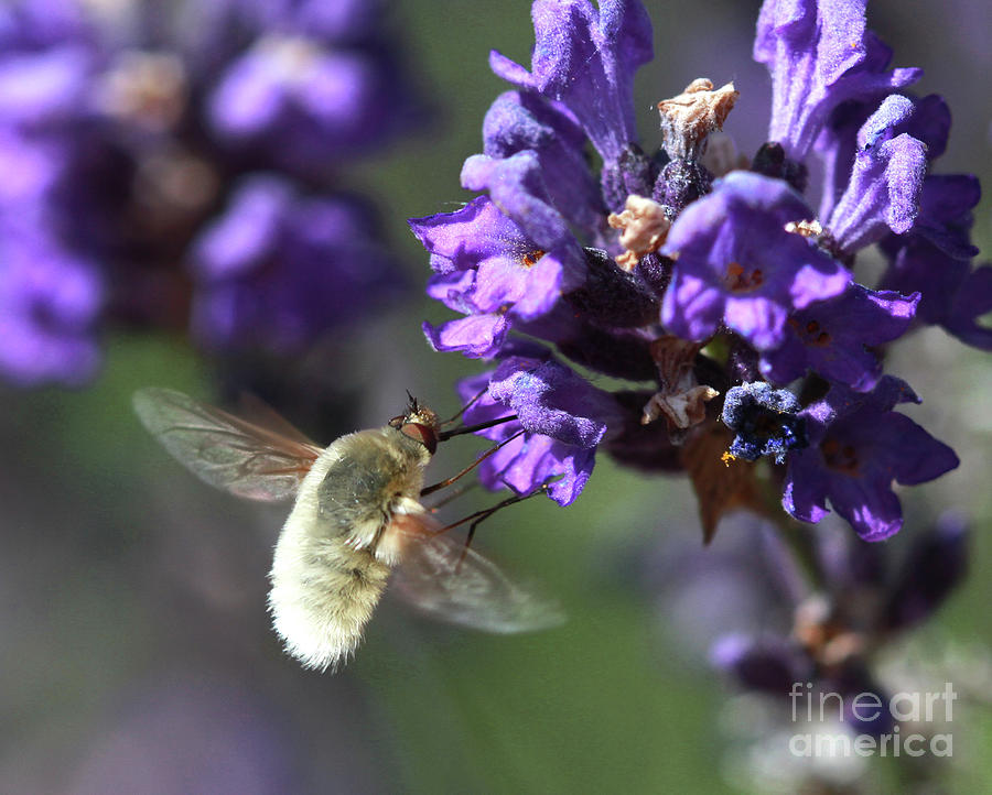 Fly Bee Photograph - Fly Bee by Gary Wing