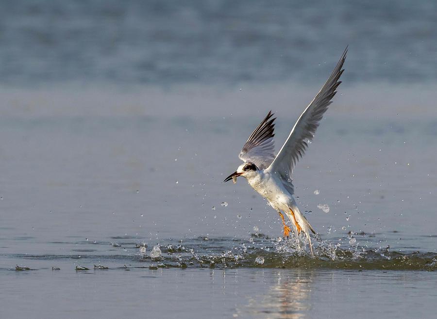 Animal Photograph - Forsters Tern by Ivan Kuzmin