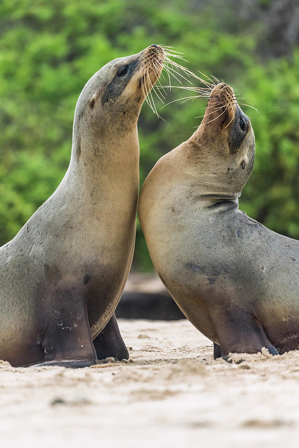 Galapagos Sea Lion Pair Greeting Photograph by Tui De Roy