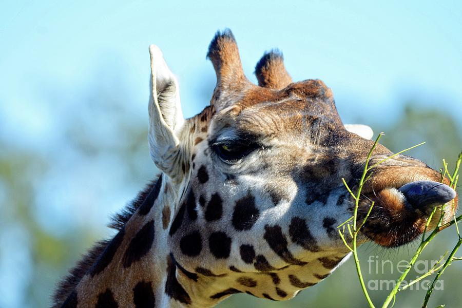 Giraffe by Graham Buffinton