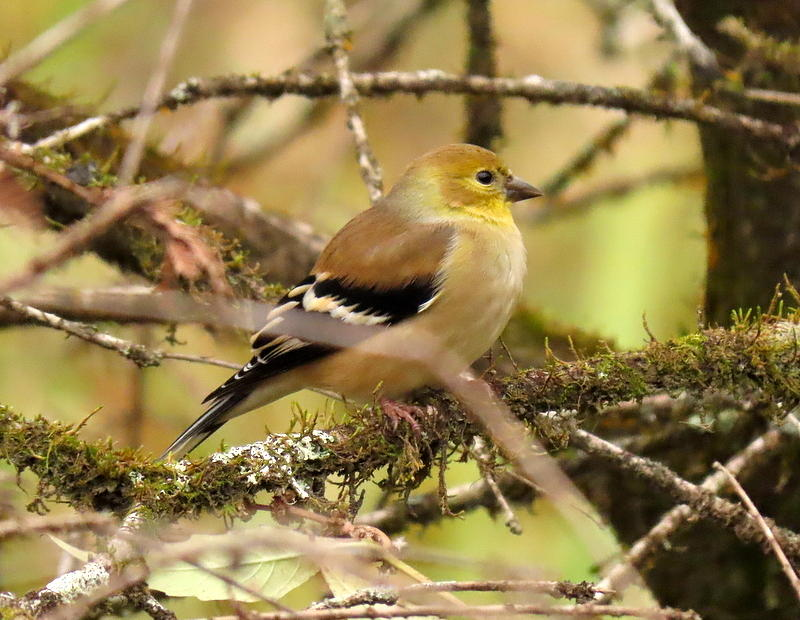 Goldfinch by Betty Berard