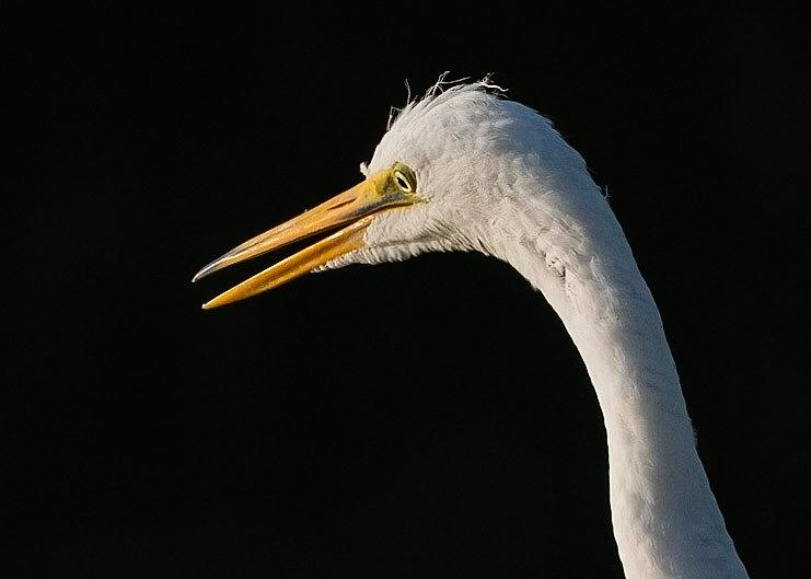 Great White Egret Photograph by Don Miller