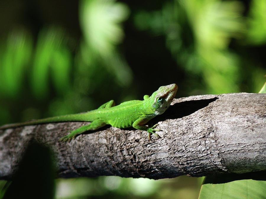 Green Lizard Photograph