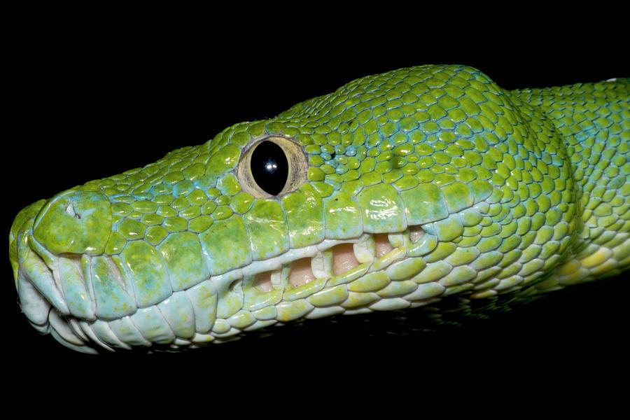 Animal Photograph - Green Tree Python Morelia Viridis by Dante Fenolio