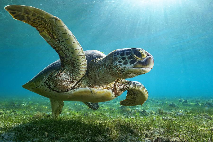 Diving Photograph - Green Turtle by Serge Melesan