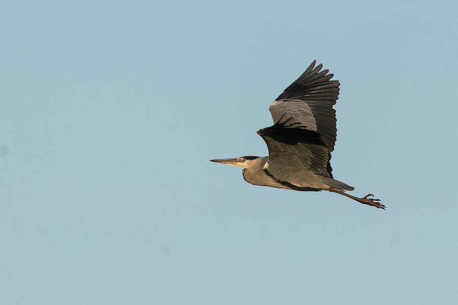 Grey Heron by Wendy Cooper