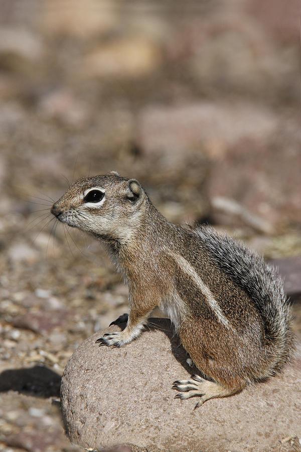 Animal Photograph - Harriss Antelope Squirrel by James Zipp
