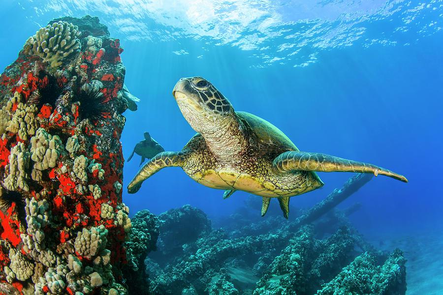 Hawaiian Green Sea Turtle  Chelonia by Jenna Szerlag