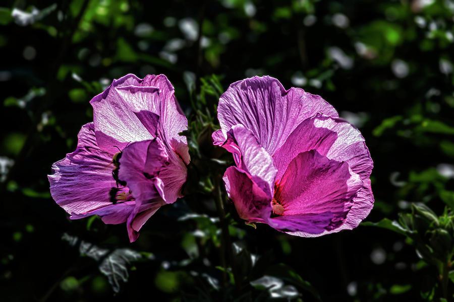 Hibiscus by Robert Ullmann