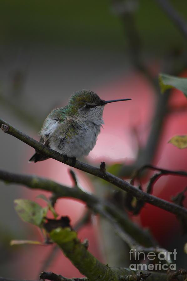 Hummingbird by Carol Eliassen