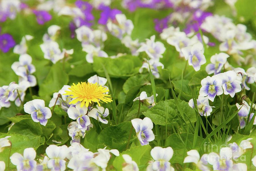 Dandelion Photograph - I Choose Spring by Marilyn Cornwell