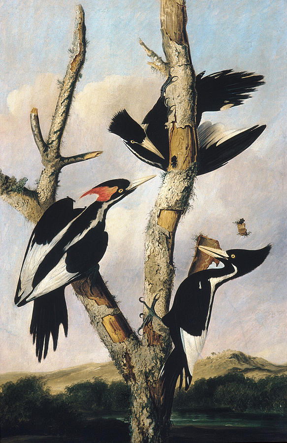 Ivory-billed Woodpeckers by Joseph Bartholomew Kidd