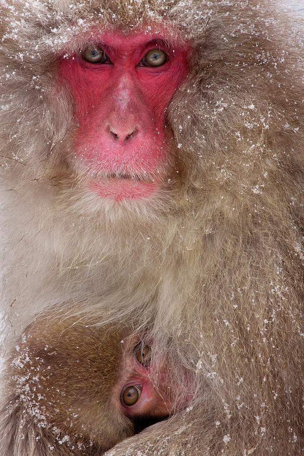 Japanese Macaques, Japanese Alps Photograph by Mint Images/ Art Wolfe
