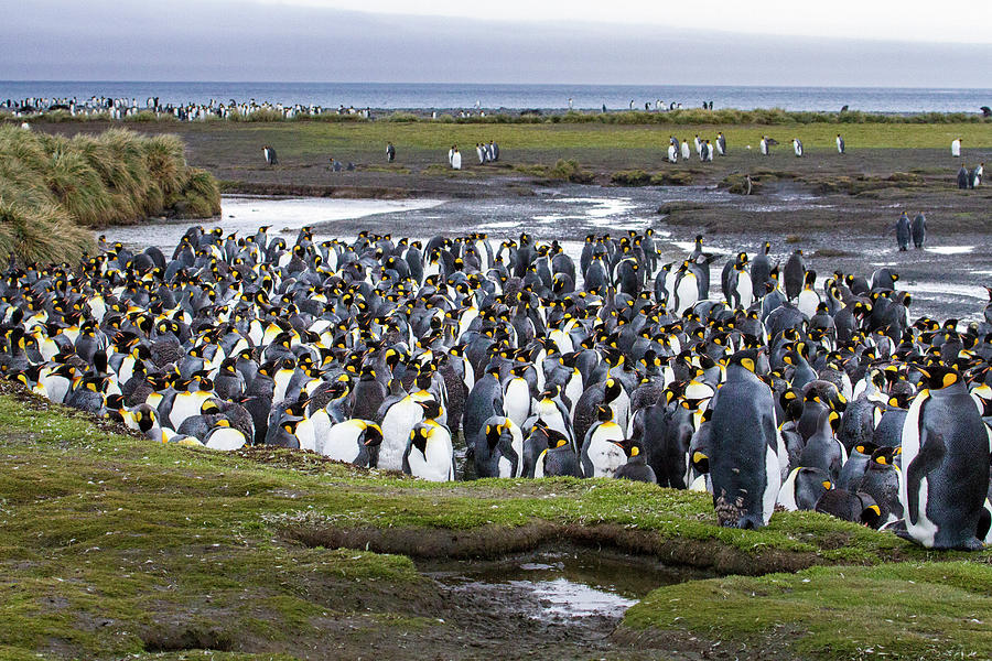 Animal Photograph - King Penguin Rookery At Salisbury Plain by Tom Norring