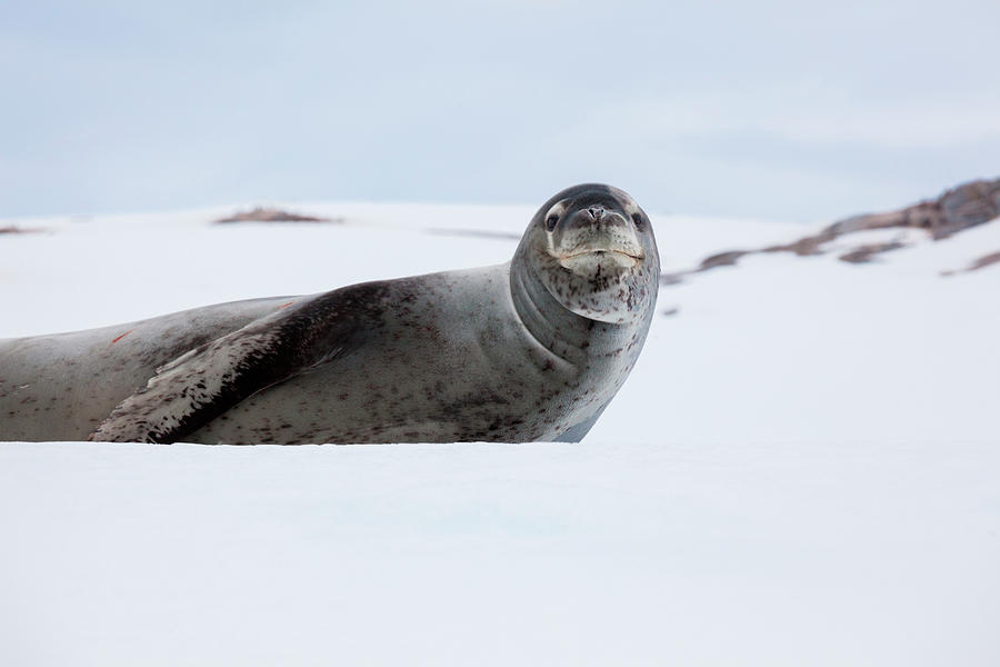 Leopard Seal, Antarctica Photograph by Mint Images/ Art Wolfe