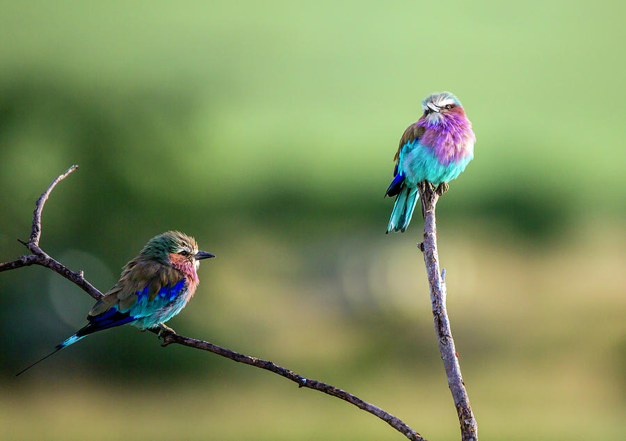 Lilac Breasted Roller Photograph By Michael North