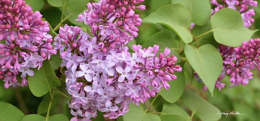 Lilacs by Harry Moulton