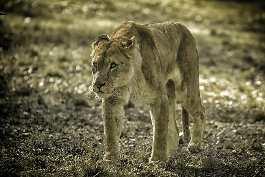 Lioness by Chris Boulton