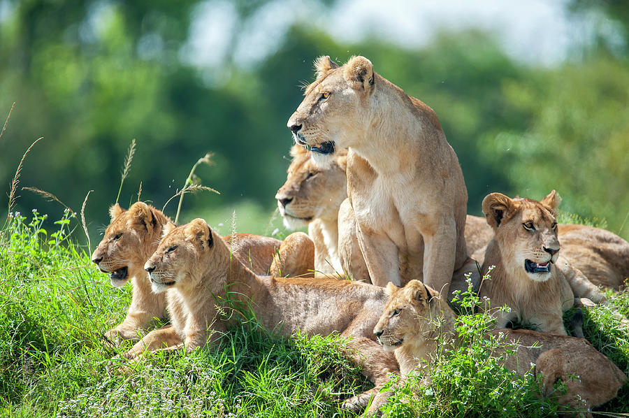 Lioness With Cubs In The Green Plains Photograph by Guenterguni