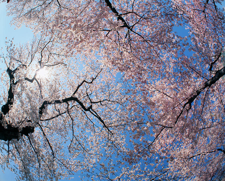 Horizontal Photograph - Low Angle View Of Cherry Blossom Trees by Panoramic Images