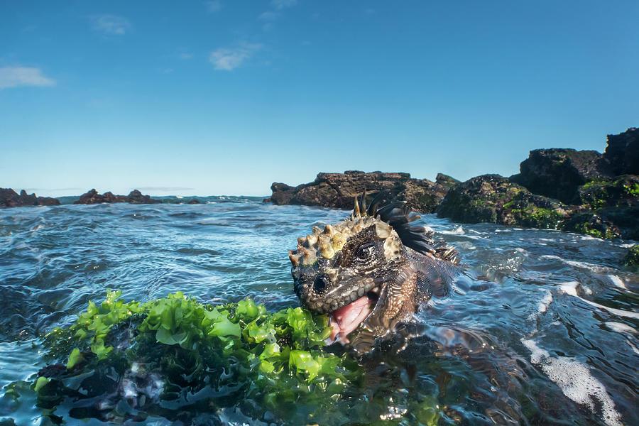 Marine Iguana Grazing On Algae Photograph by Tui De Roy