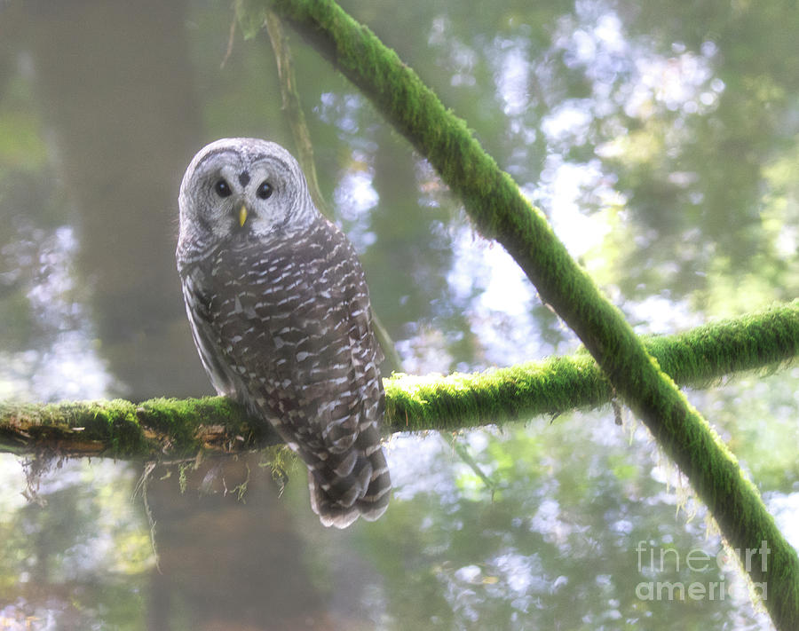 Barred Owl Photograph - Mists Of Time by Bob Christopher