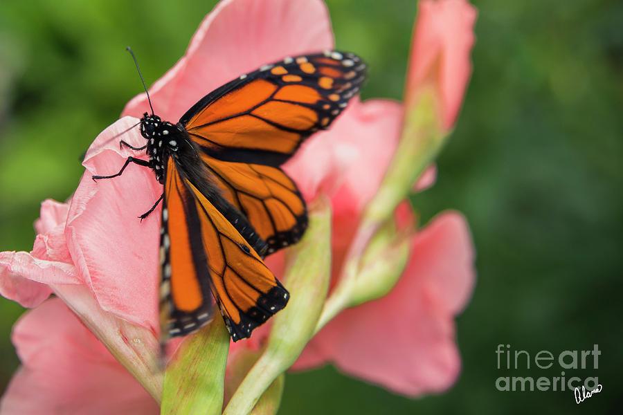 Monarch Butterfly by Alana Ranney