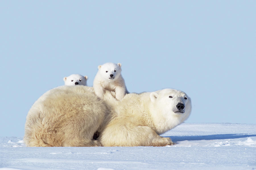 Mother Polar Bear With Cubs, Canada Photograph by Art Wolfe
