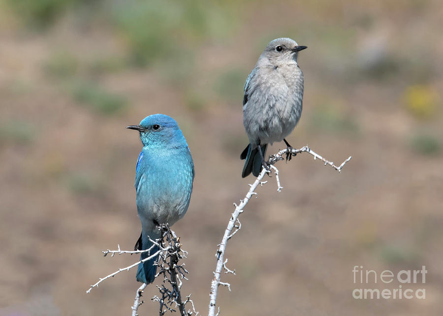 Mountain Bluebird Pair by Mike Dawson