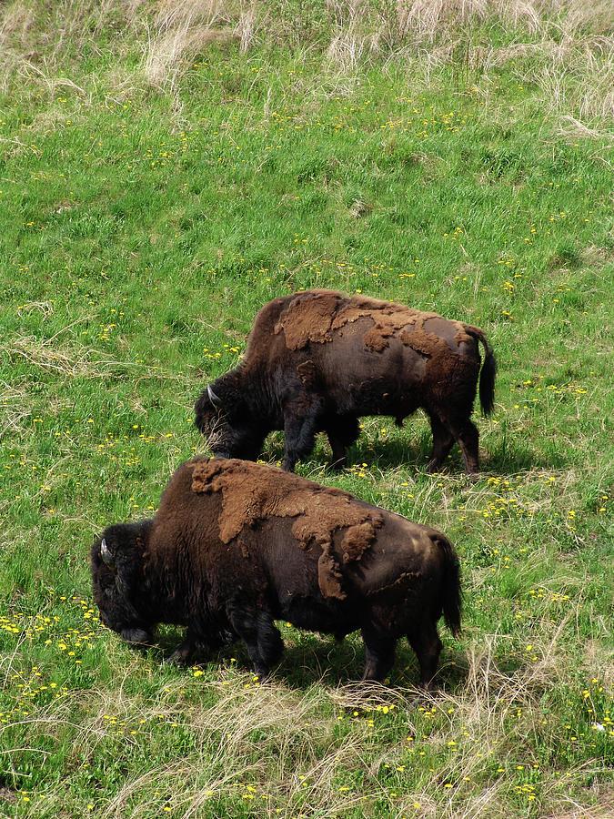 North American Alaska Wood Bison Photograph