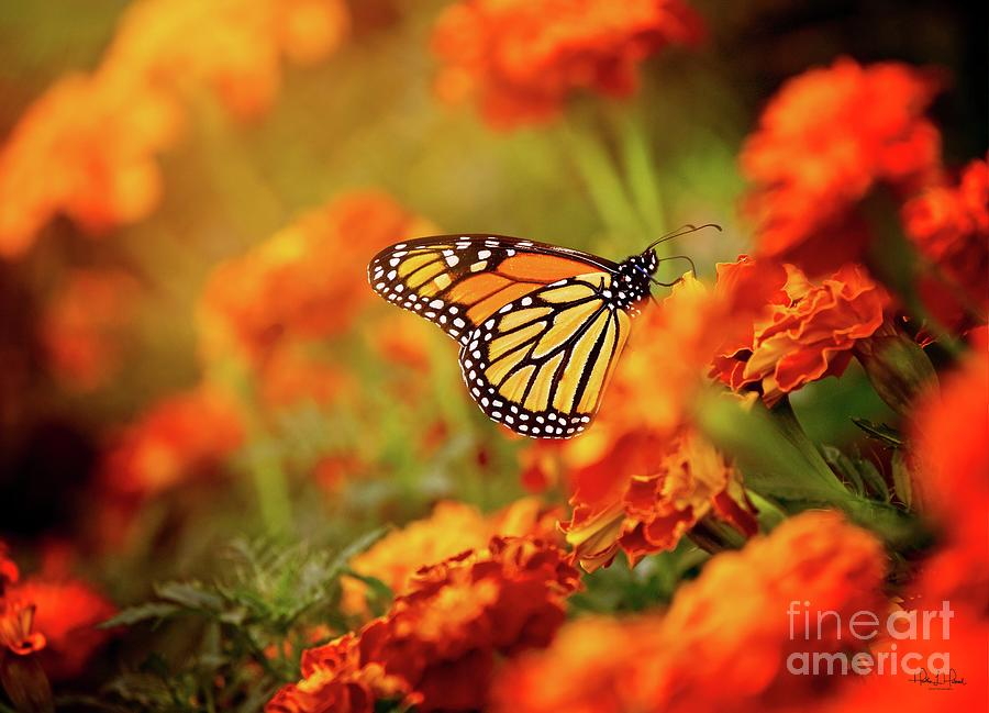 Orange Monarch Photograph by Heather Hubbard