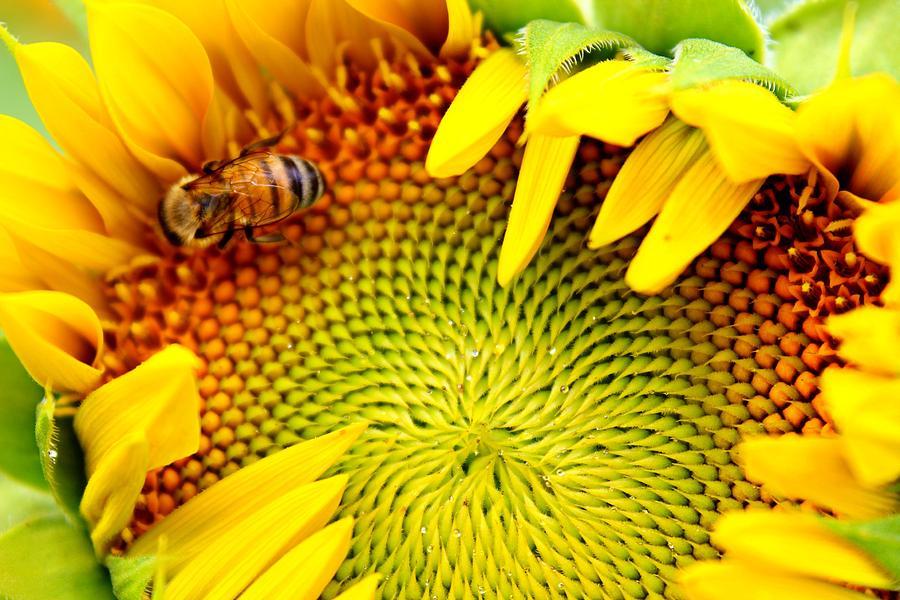 Honeybee Photograph - Peek-a-Boo by Candice Trimble